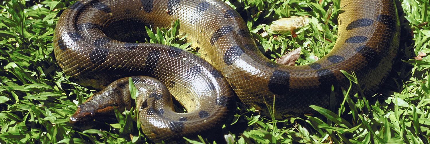 Anaconda coiled in an S shape as it crawls through grass
