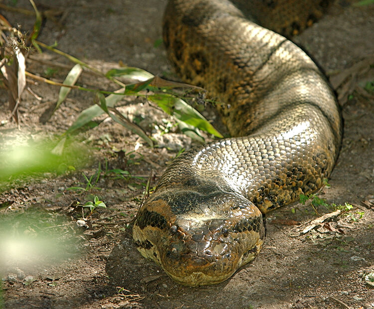 Green anaconda slithering along a dirt ground facing the camera head on