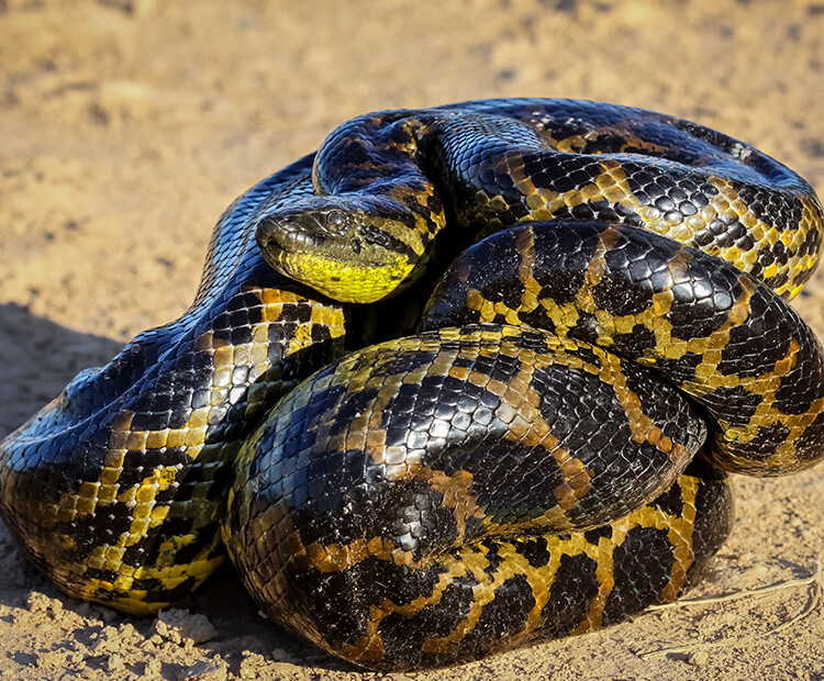 Young anaconda coiled up on a dirt ground