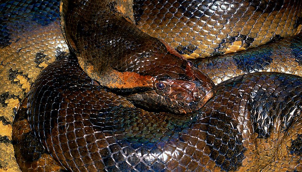 Anaconda | San Diego Zoo Kids