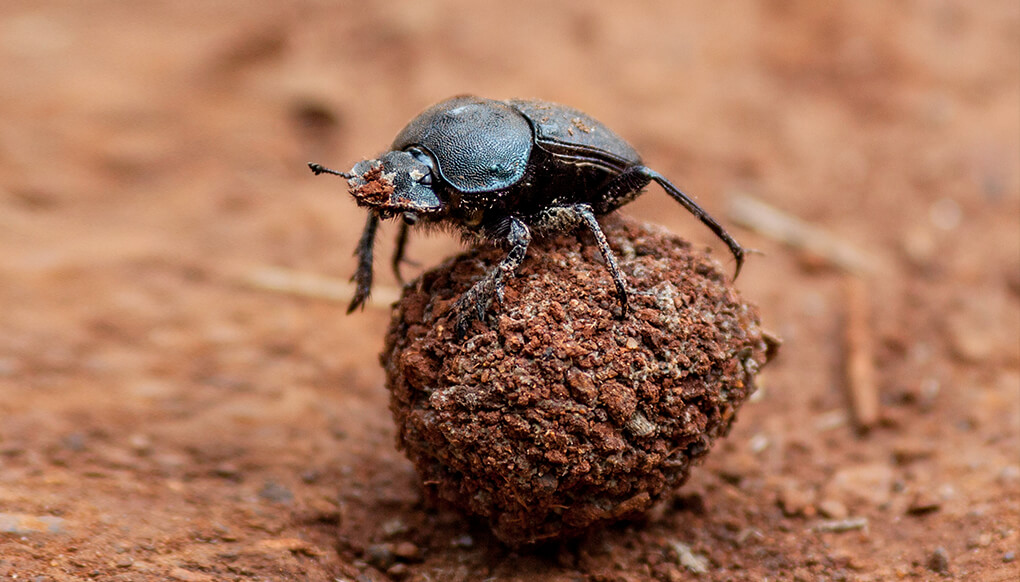A dung beetle sitting atop a small ball of dung