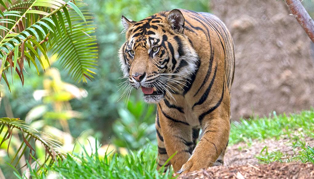 tiger san diego zoo kids