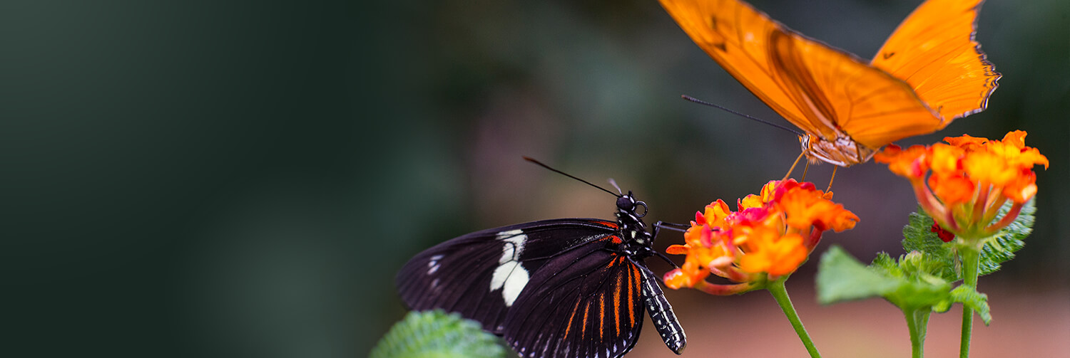 A black butterfly with red and white stripes, and another, orange butterfly, sit on a bright orange flower