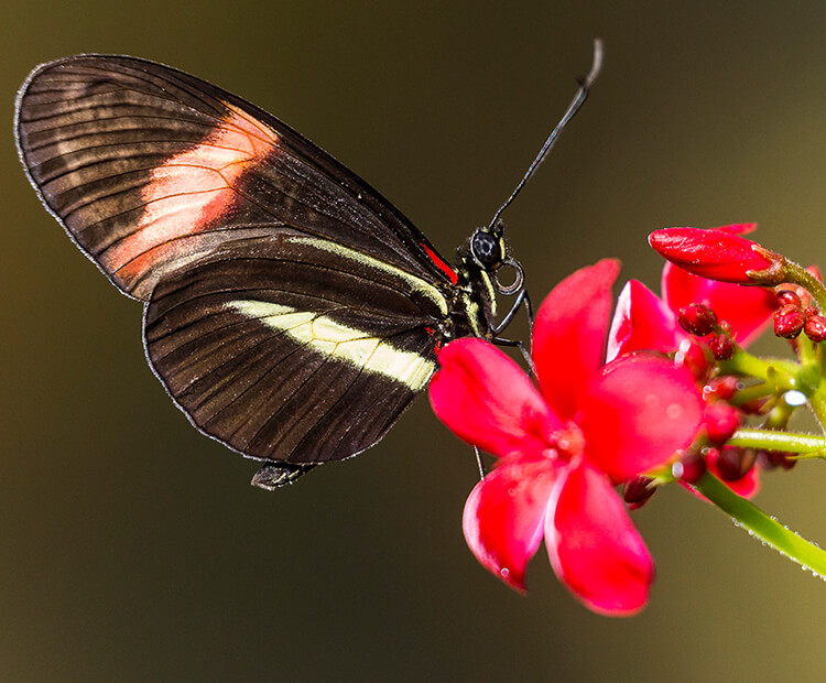 A small dark brown butterfly with red and white stripes on its wings sits atop a red flower