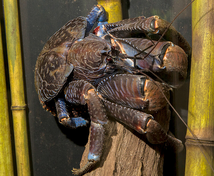 Coconut crab hanging onto a wood log between bamboo stalks