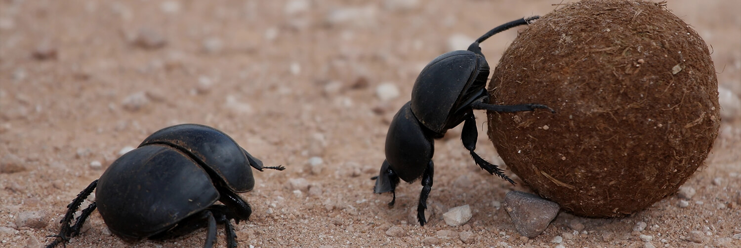 A dung beetle looks on as another rolls a ball of dung with its hind legs