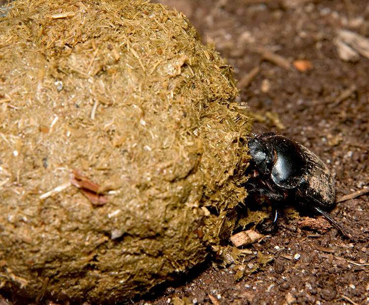 Dung beetle rolling a large ball of elephant poo