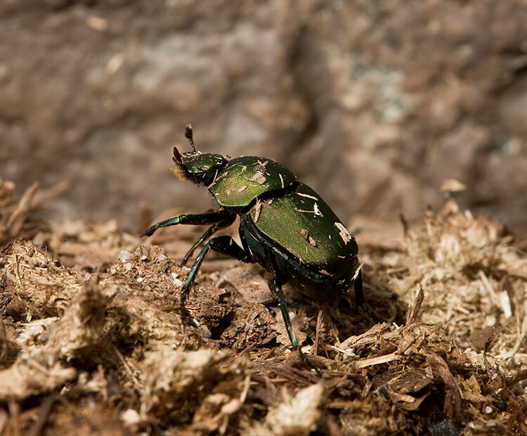 Dung beetle on wood chips