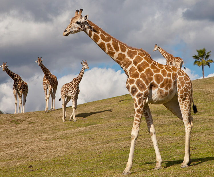 A giraffe walks on a grassy hill in front of four other herd members in the distance.