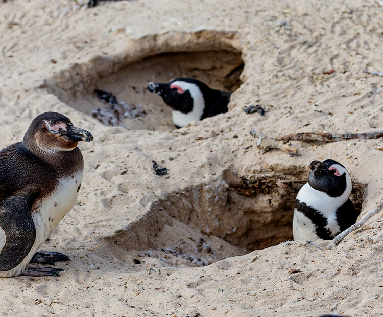 Two adult penguins sitting in their dug-out sand burrows with a juvenile sitting sleepily outside