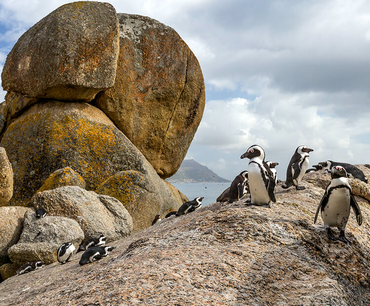 African penguins resting on a large boulder on a South African beach.