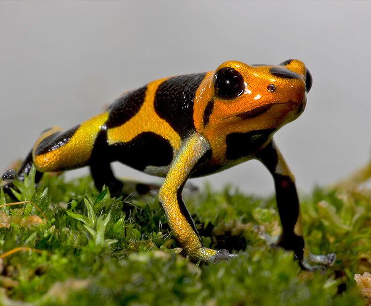 A yellow poison frog with black spots perched on a patch of moss.