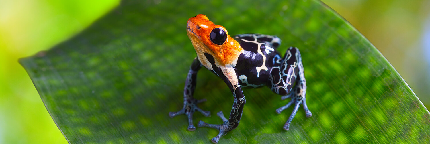 Red, blue, and black spotted poison frog sitting on a leaf.