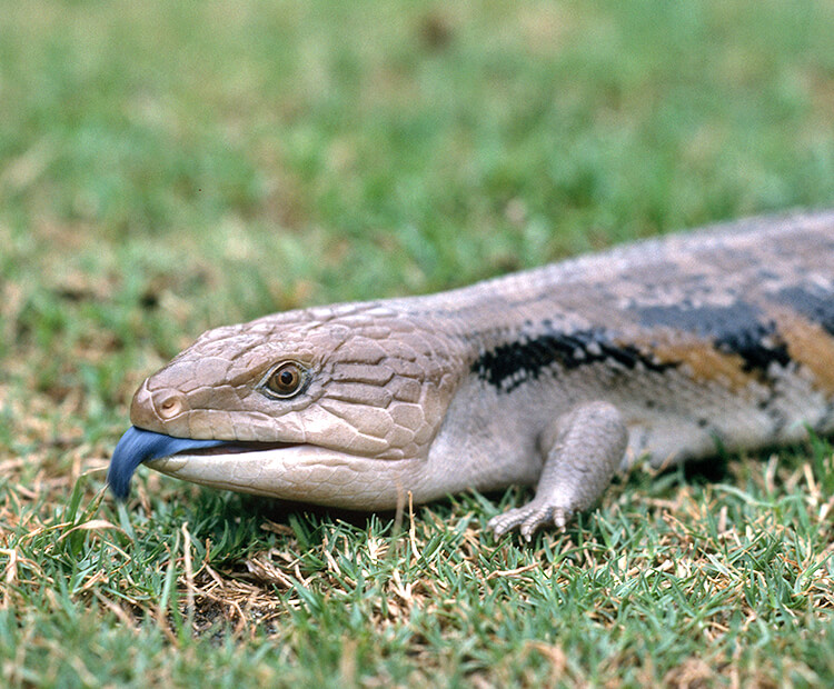 A blue-tongued skinks crawls across grass as it sticks its tongue out
