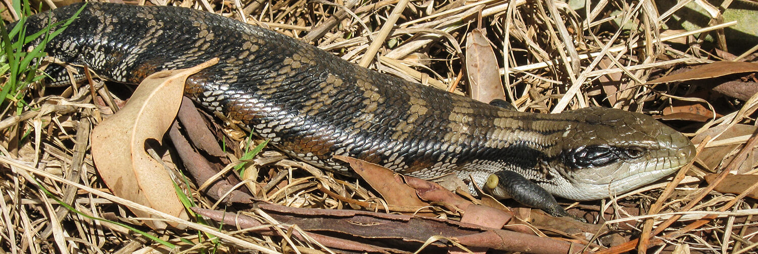 Blue-tongued skink crawling along dried leaves and grass in an Australian backyard