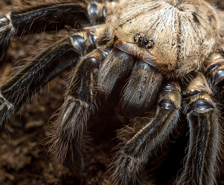 Close-up of a tarantula's face with multiple eyes
