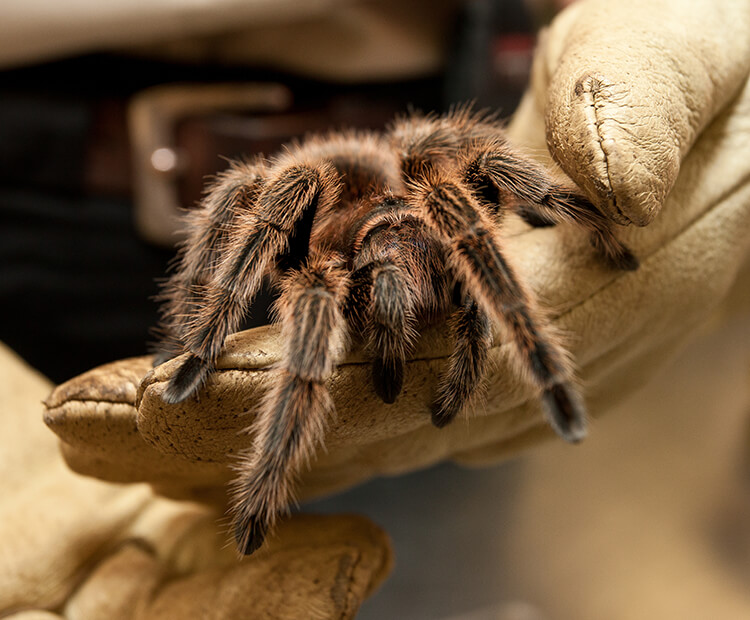 A zoo keeper holds a Chilean tarantula in her hand.
