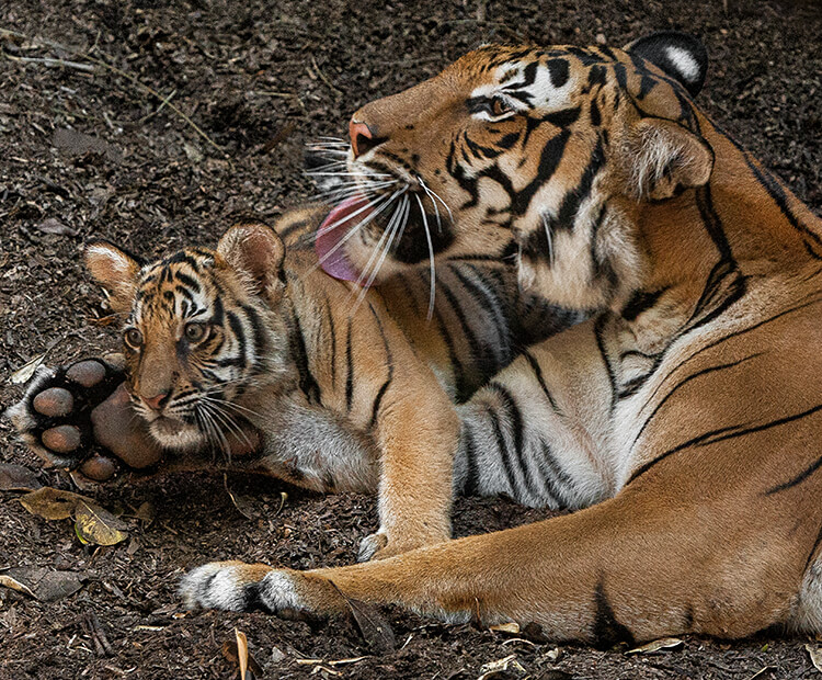 A tiger mom grooms her little cub with her large tongue