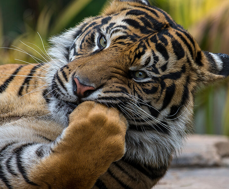 Tiger with its fore-paw held to its mouth