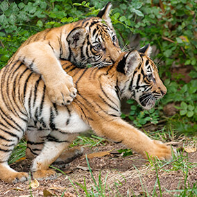 A tiger cub pounces on its sibling's back