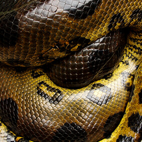 Anaconda coiled up