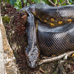 Green anaconda sitting in a tree