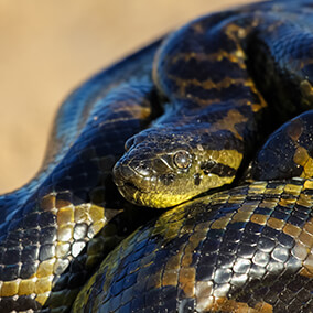A young anaconda coiled up tight