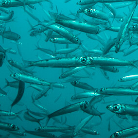 A shoal of sardines swimming in the ocean