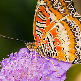A bright orange, black, and white patterned butterfly sits on a purple flower