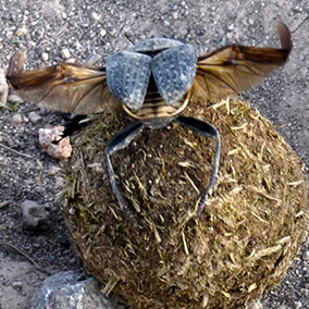 Rear view of a dung beetle sitting atop a dung ball with wings stretching out
