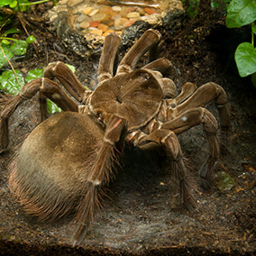 Goliath bird-eating tarantula