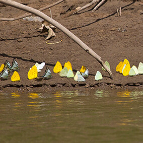 A large gathering of butterflies drinking from a river bank's muddy edge in Peru.