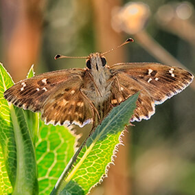 Skipper butterfly, or Hesperiidae, sitting on a green leaf with wings spread open