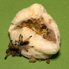 Goliath bird-eating tarantulas hatching from their silk cocoon