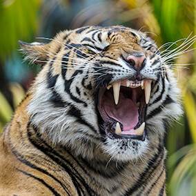 A tiger yawns, showing off its large canines