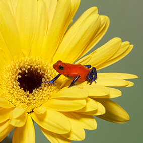 A tiny strawberry poison frog sits on a yellow daisy, highlighting how small the frog is.
