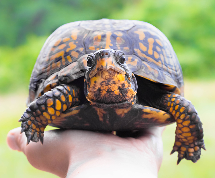Box turtle is held on a person's hand