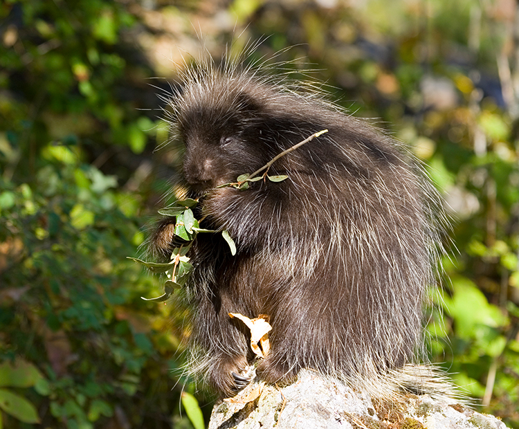 Jeuvenile porcupine chows down on a tasty branch