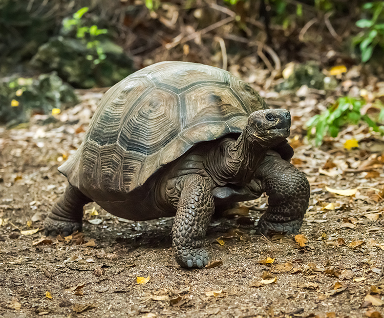 Galapagos tortoise walks along forest floor