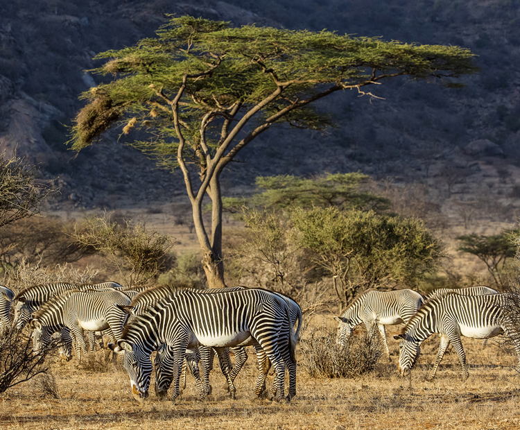 Zebras which have never been domesticated are known for their stripes which help to confuse predators when theyre in groups