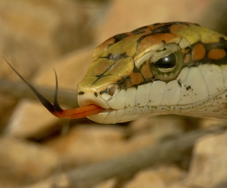 A snake flickers his tongue to catch scents in the air