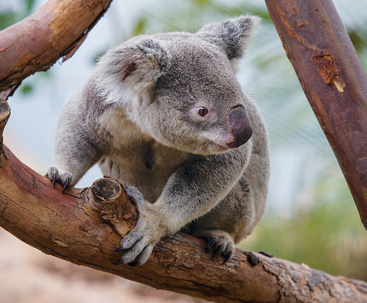 adult koala chills on a branch
