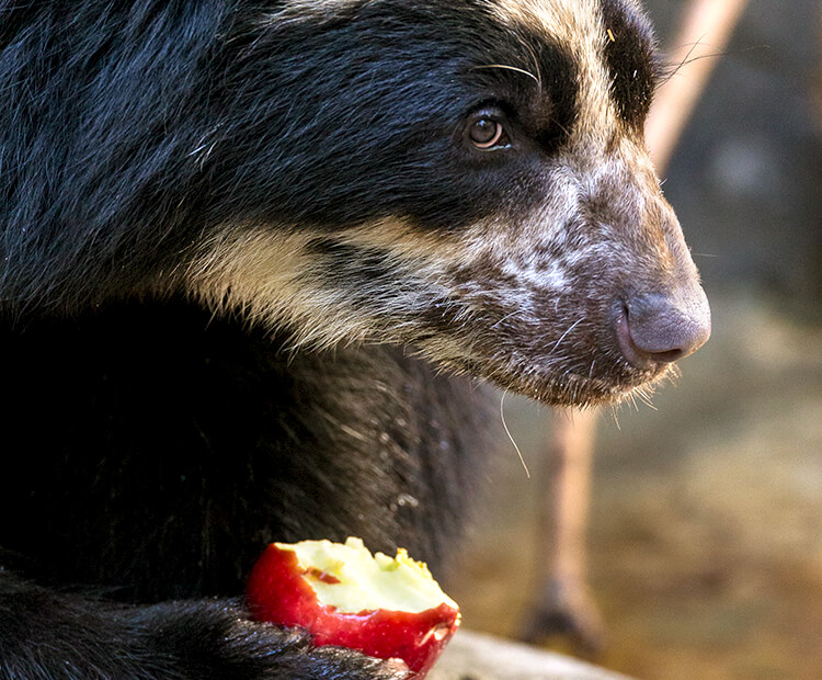 Andean bear eating a bite out of an apple