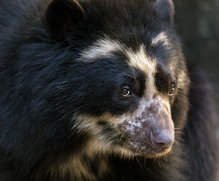 Close-up of an Andean Bear's face showing its spectacle-like markings around its eyes