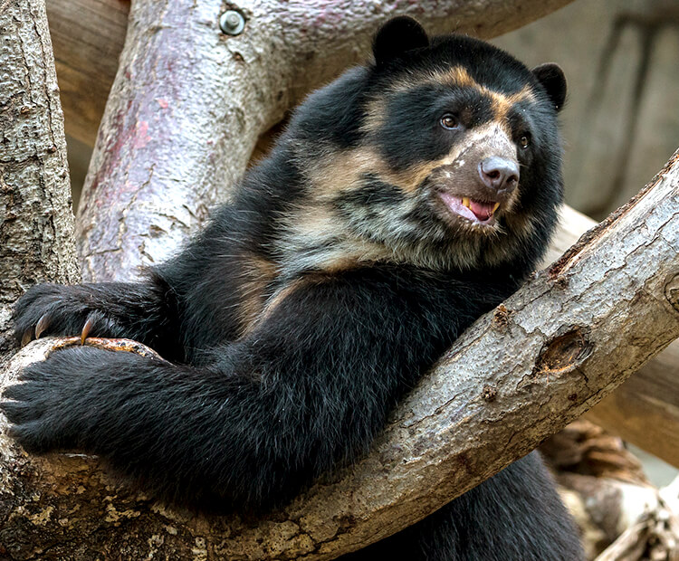 Andean bear climbing tree branches