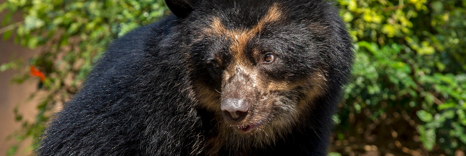 Andean bear looking left