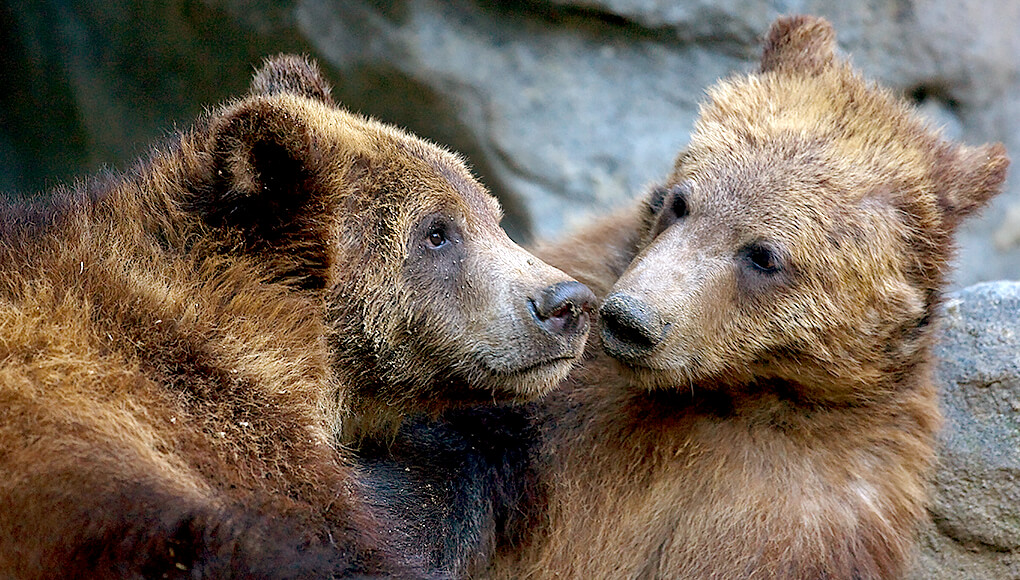 A pair of young grizzly bears