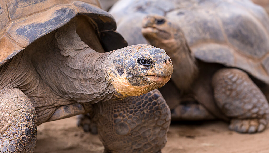 A pair of Galapagos tortoises standing on dirt ground.