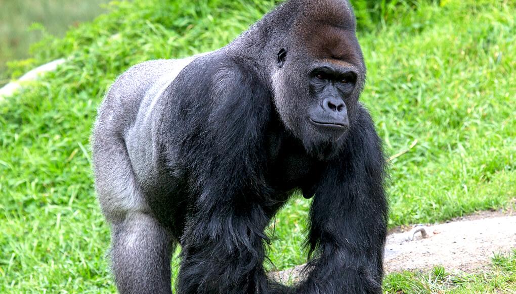 western lowland gorilla san diego zoo kids
