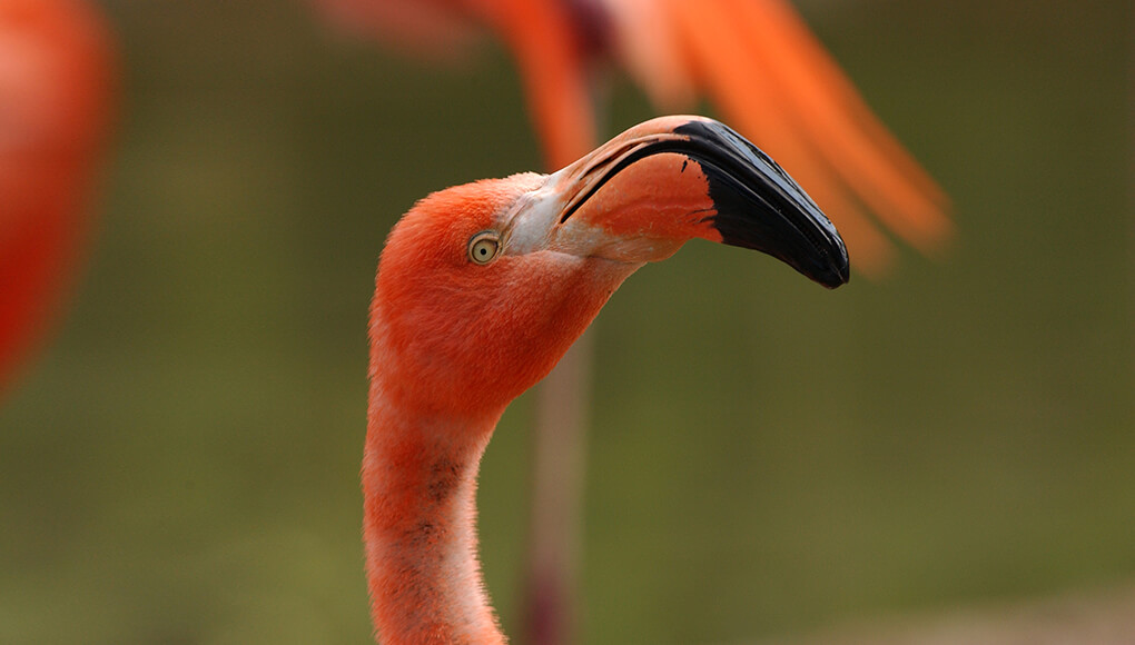 Caribbean flamingo with beak facing right, looking into camera